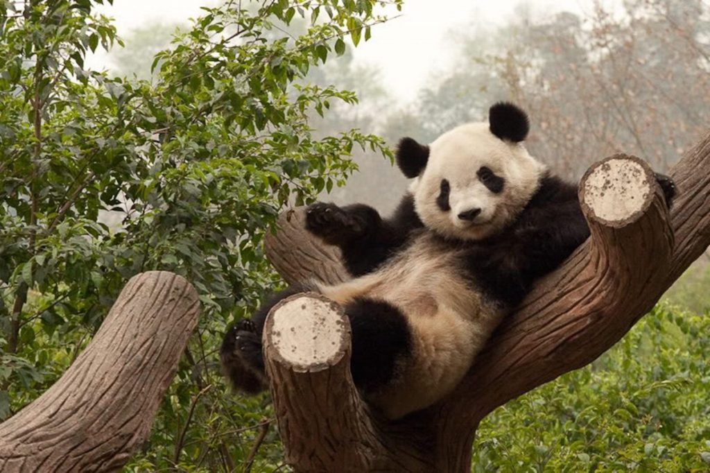 Panda Bear | 8 Adorable Animals That Are Surprisingly Dangerous | Zestradar