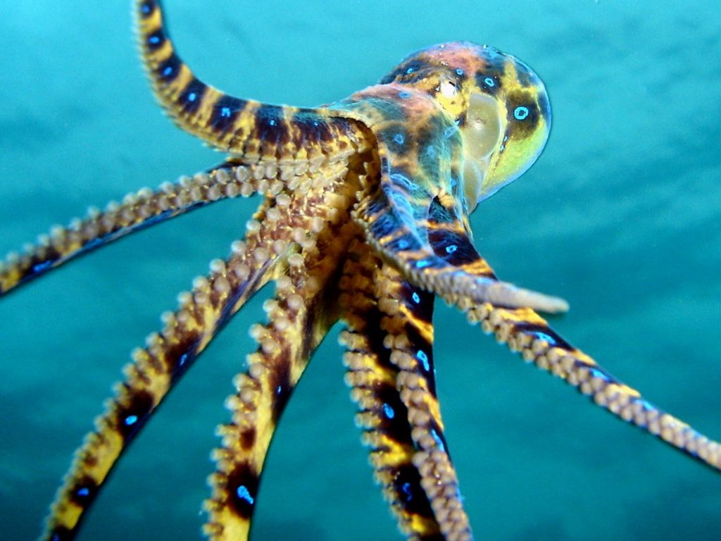 Blue-Ringed Octopus | 8 Adorable Animals That Are Surprisingly Dangerous | Zestradar